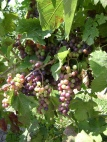 Niagara Grapes