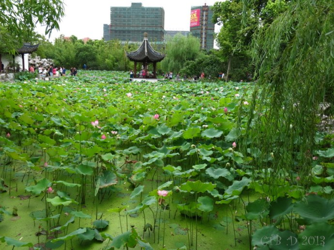 The lotus pond