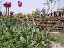 Tulips -Shanghai Botanical Garden Spring 2013