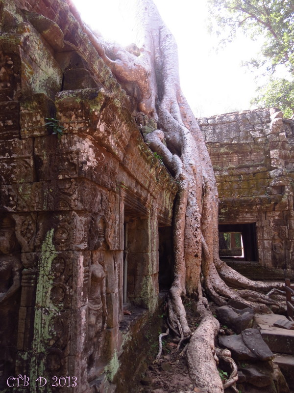 Close up of the massive trees that have over taken and caused some of distruction to the ancient temples