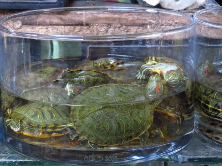 Small turtles for sale